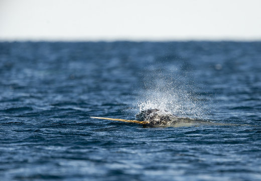 Male narwhal swimming along the surface with it's tusk out, Northern Baffin Island, Canadian Arctic.