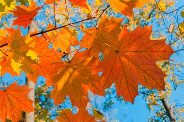 Bright autumn landscape. Autumn tree leaves the blue sky background.