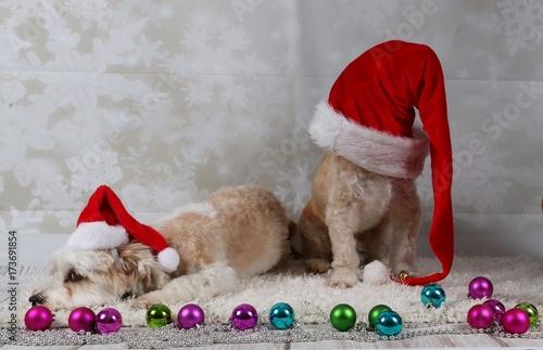 Süße Weihnachtsbilder.Zwei Süße Witzige Weihnachtshunde Im Studio Stock Photo And Royalty