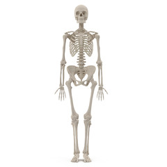 medical accurate female skeleton on white. 3D illustration