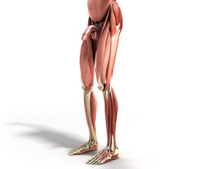 Human Muscle Anatomy 3d render on white