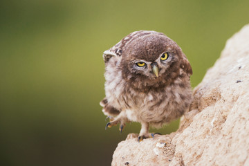 A young little owl stands near his hole and looking at the camera