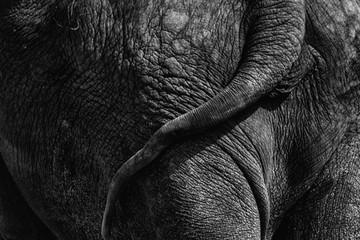 Elephant rear end close-up