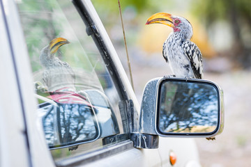 Namibia, Kunene, Toko sitzt auf Seitenspiegel des Autos, bei der Khowarib Lodge