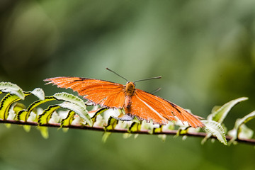 Tropical  Julia butterfly (Dryas iulia)