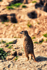 A Meerkat on the lookout
