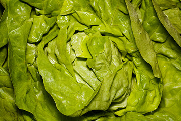 Fresh and wet butter lettuce background