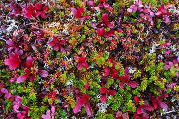 Colorful tundra plants at autumn