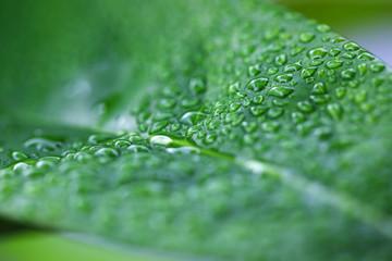 Wall Mural - close up of rain drop on fresh leaf
