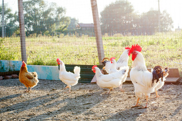 Chicken on a poultry farm.