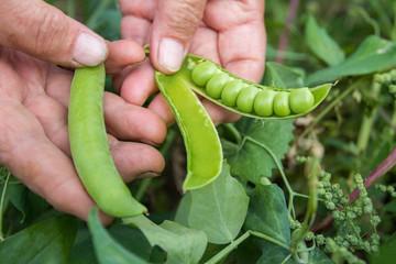 Урожай гороха. Женщина собирает горох. Очень сладкий и крупный горох. Дары лета. Урожай. Peas crop. The woman collects peas. Very sweet and large peas. Gifts of summer. Crop