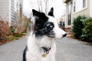 A black and white border collie sitting outside.