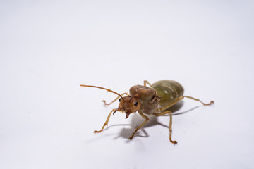 the isolated picture of  weaver ant queen.