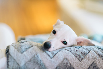 Close-up of a little white puppy or dog