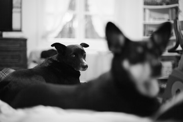 Dog laying on bed behind another dog and looking straight at the camera, black and white
