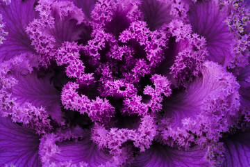 frilly purple kale from above