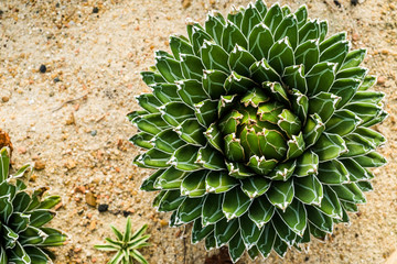 Queen Victoria Century Plant/Royal Agave