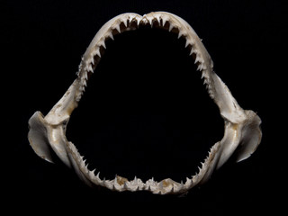 Lemon Shark Jaw Isolated