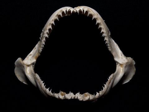 Lemon Shark Jaw Isolated