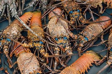 Orange and Blue Lobsters