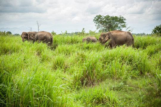 Asian Sri Lanka elephant