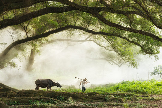 Farmer with buffalo going to work, China