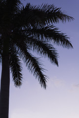 Silhouetted palm trees at sunrise. Florida.