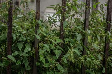 green nettle in the garden