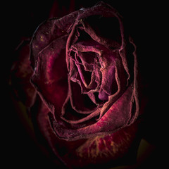Dying and dried up red rose