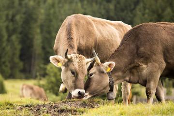 Kühe - Kuss - Kiss - küssen - Bussi - Allgäu - niedlich - lieb - Liebe - Alpen - Rinder