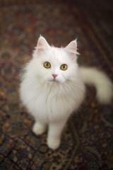 Beautiful little persian cat