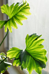Philodendron leaves in sunny window