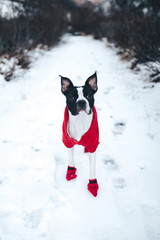Boston Terrier Hike