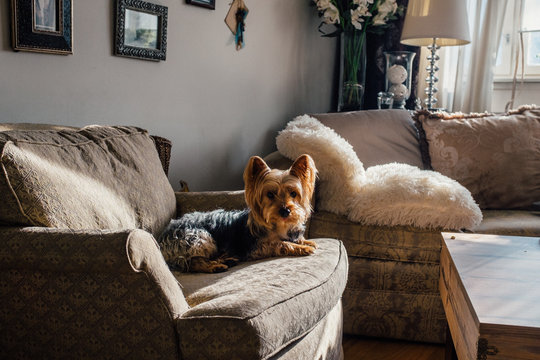 Silky Terrier Chilling on Sofa