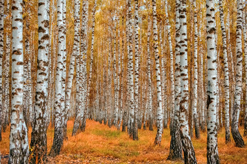 Papiers peints Forets Autumn birch forest