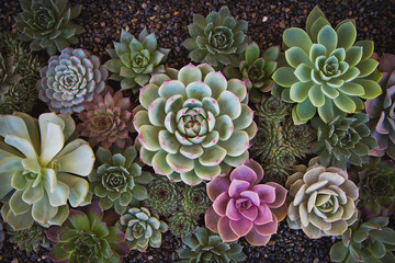 Echeveria garden