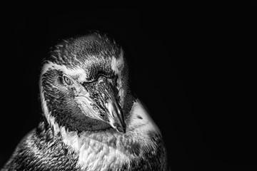 Humboldt penquin