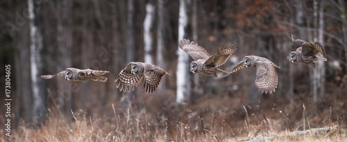 Fototapete Great Gray Owl Sequence