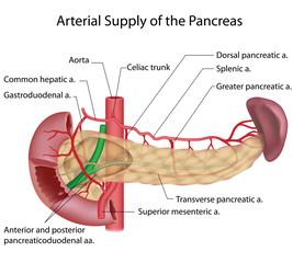 Pancreas blood supply labeled