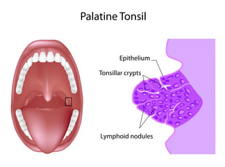 Anatomy of the palatine tonsil tissue in cross section, labeled.