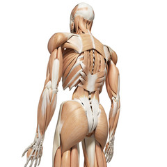 3d rendered medically accurate illustration of the deep back muscles