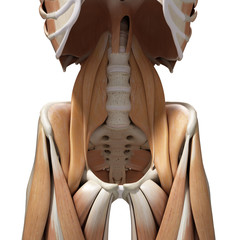 3d rendered medically accurate illustration of the hip muscles
