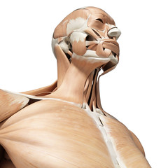 3d rendered medically accurate illustration of the human muscles
