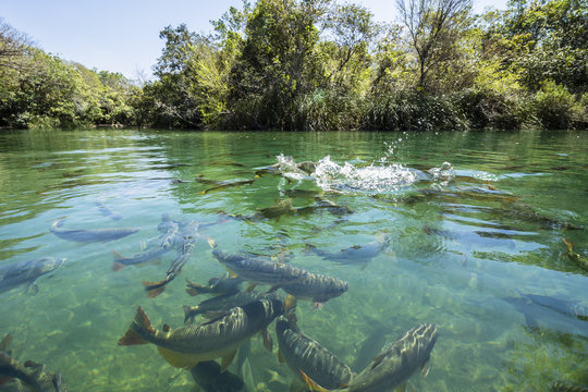Big fishes in cristal clear water river