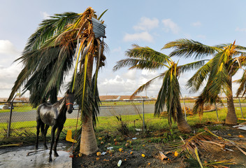 A horse tethered to a palm tree badly damaged by Hurricane Maria waits for a stable hand to finish its bath on the grounds of a racetrack in Christiansted, St. Croix