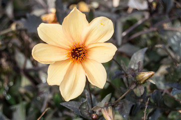 détail dahlia jaune dans un jardin public