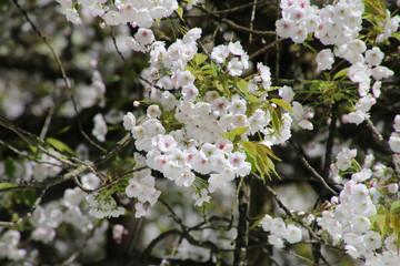 伊佐須美神社の薄墨桜(会津美里町)