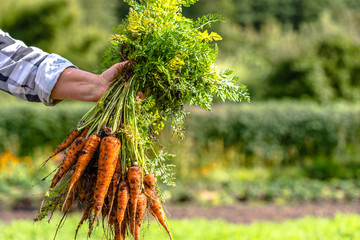 Farmer holding a carrots from the soil, produce from local farming, organic vegetable fresh harvested from the garden