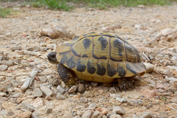 Hermann's tortoise, testudo hermanni, wild and free on the island of Minorca.