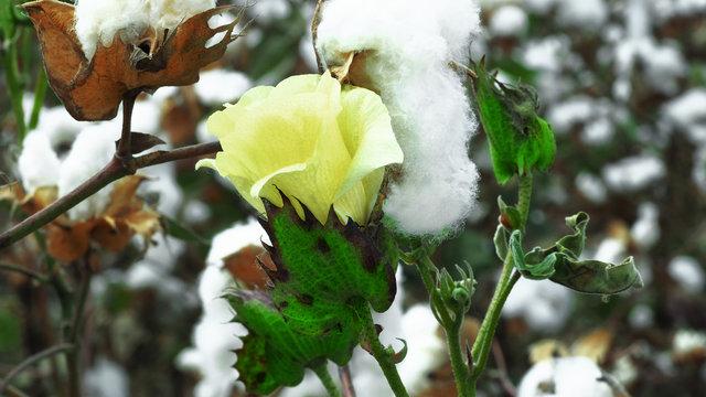 Yellow cotton flower